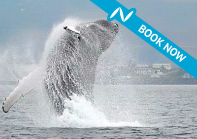 100% Whale watching from Hauganes